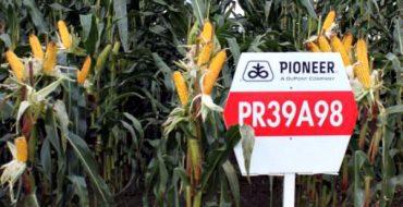 Опытный участок с посевами кукурузы Пионер