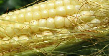 Молодой початок сладкой кукурузы