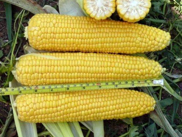 Ранняя сахарная кукуруза сорта Добрыня