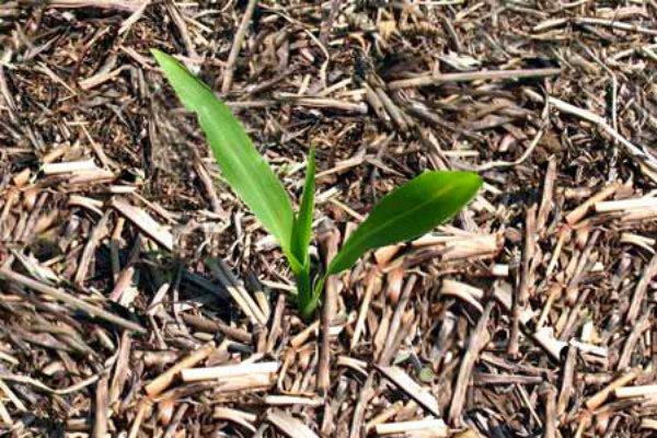 Мульчирование грядок со всходами кукурузы