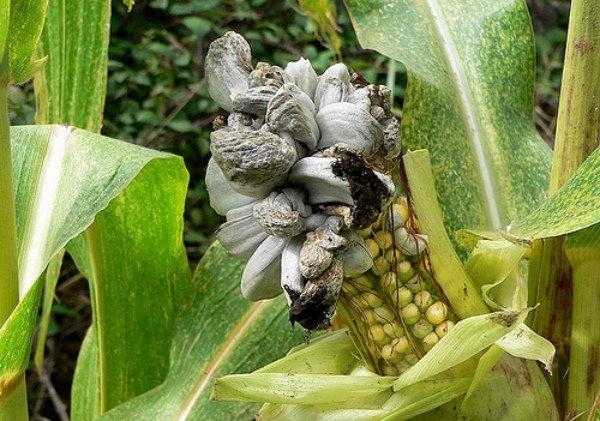 Початок кукурузы, пораженный пузырчатой головней