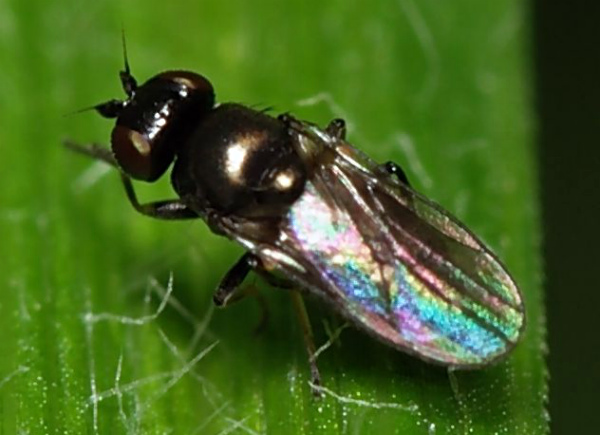 Шведская муха на кукурузном листе
