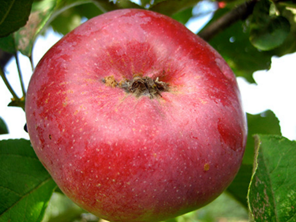 Зимнее яблоко сорта Орлик