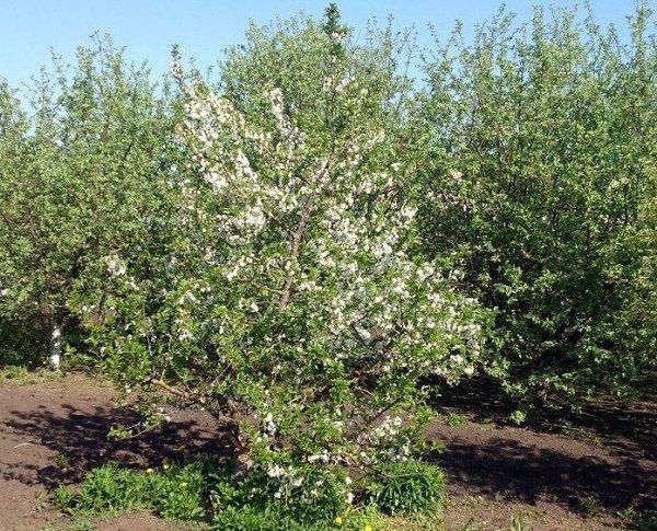 Цветущая яблоня Орлик в саду
