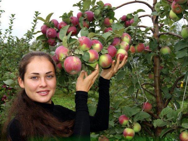 Плоды яблони Орлик на ветке