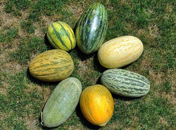 Разнообразие форм и цветов различных дынь