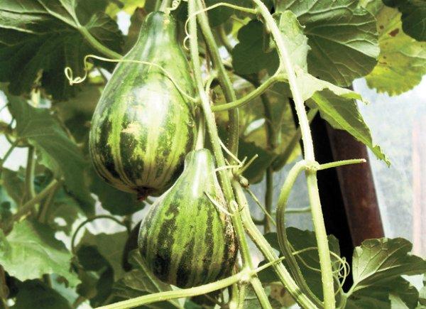 Необычной формы плоды сорта Мечта сибарита