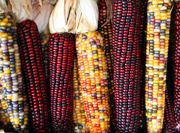 Экзотическая разноцветная кремнистая кукуруза