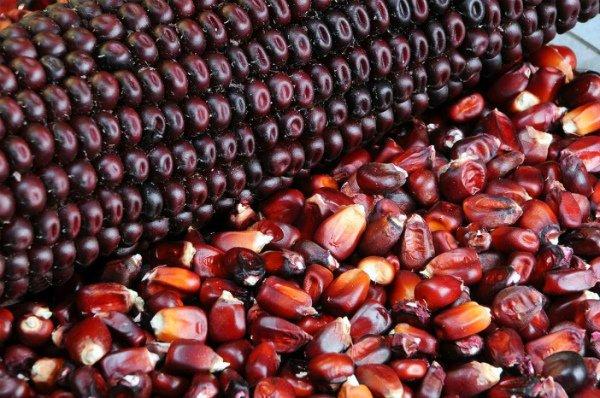 Початок и зерна красной кукурузы