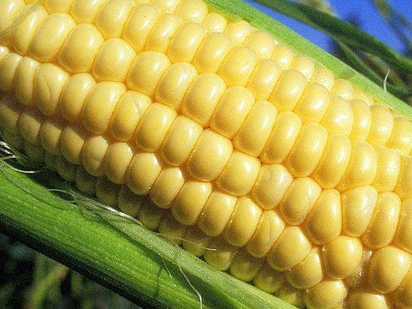 Сорт кукурузы Лакомка 121