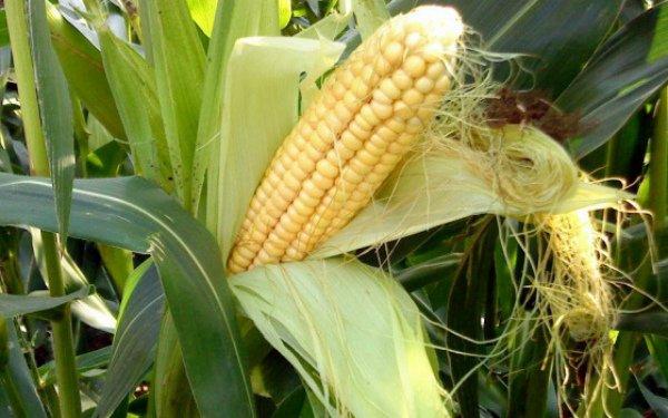 Молочная стадия созревания кукурузных зерен
