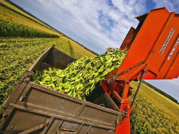Сбор урожая зерновой кукурузы