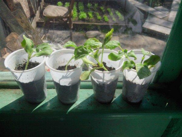 Выращивание рассады дыни на подоконнике