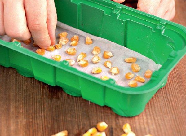 Подготовка кукурузных зерен к посадке