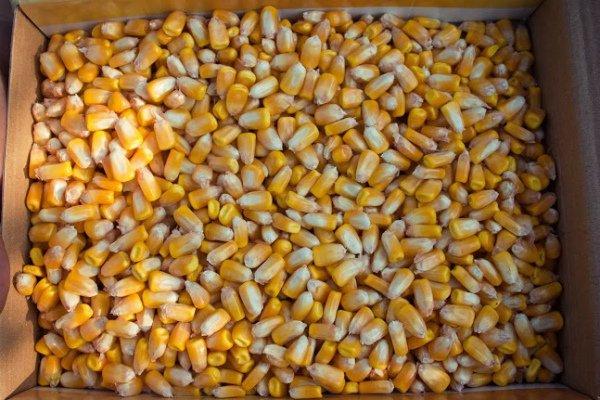 Отбор посевного материала кукурузы