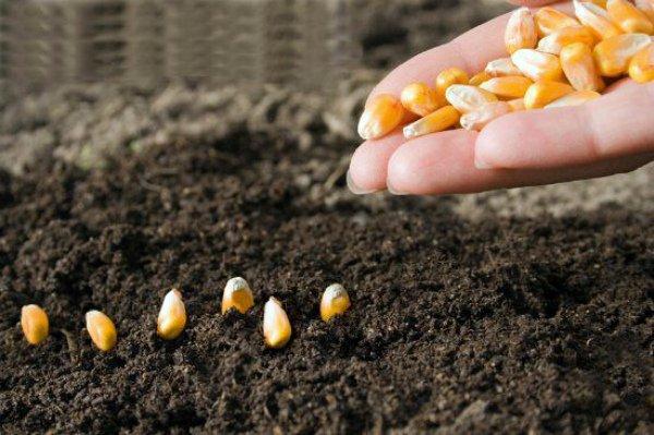 Посев кукурузных зерен в грунт