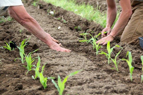 Высадка рассады кукурузы на грядку
