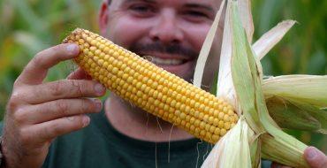 Проверка зрелости кукурузных початков
