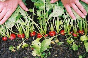 Уход за плодами редиса