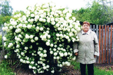 Калина Бульденеж - гордость любого сада