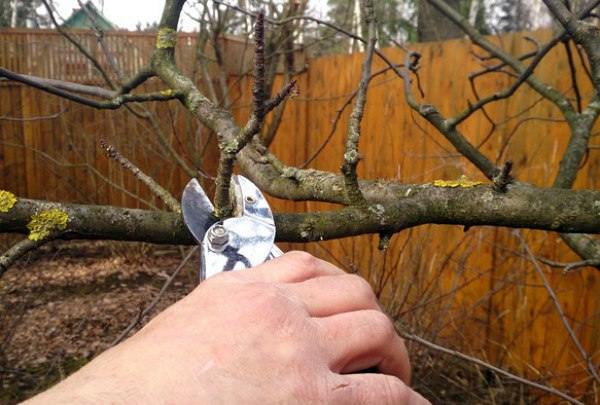 Обрезка ветвей яблони Ауксис