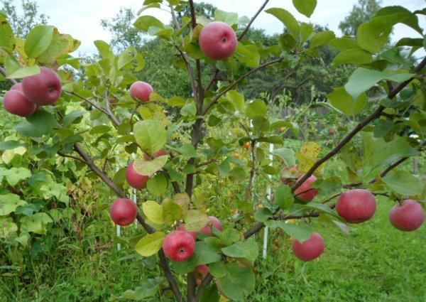 Яблоня европейского сорта Ауксис