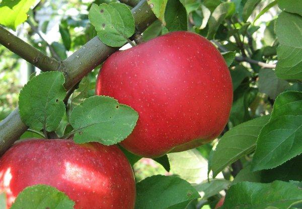 Плоды яблони Ауксис крупным планом