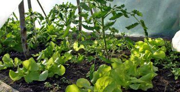Редис и томаты – уплотнение посадок