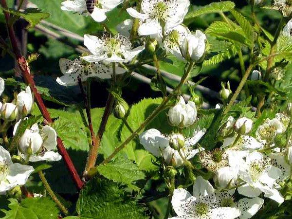 Цветение прямостоячей садовой ежевики