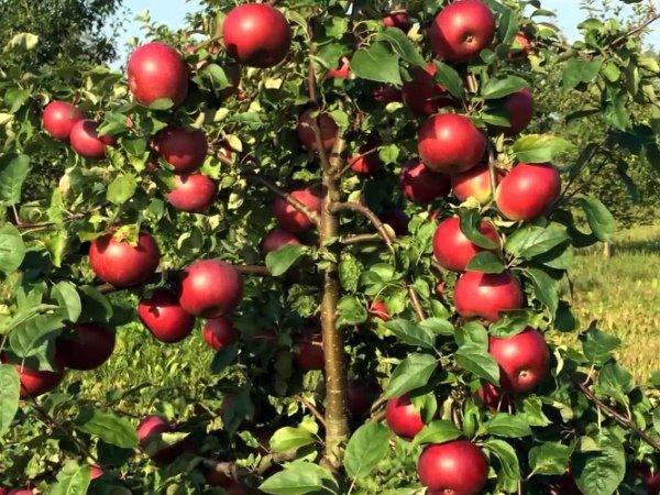 Плодоношение яблони Белорусское сладкое