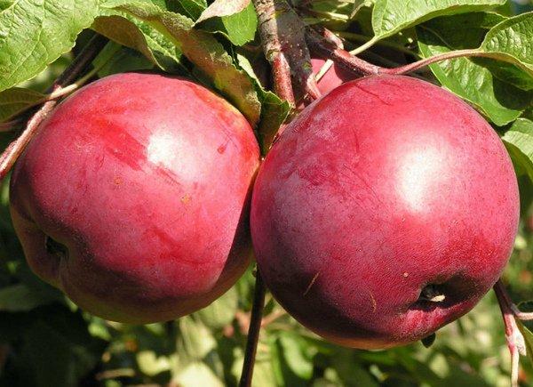 Спелые яблоки сорта Белорусское сладкое