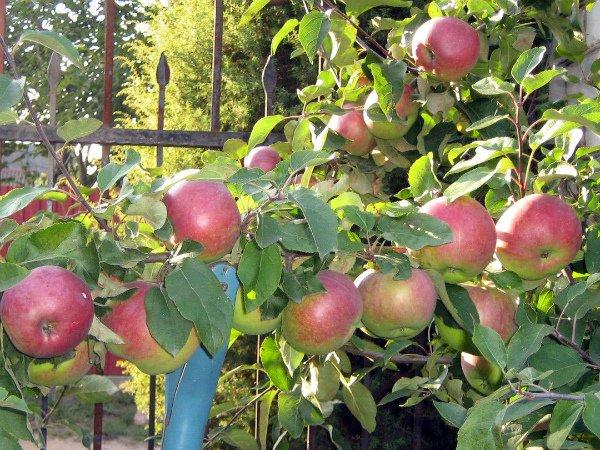 Выращивание яблок сорта Белорусское сладкое на даче
