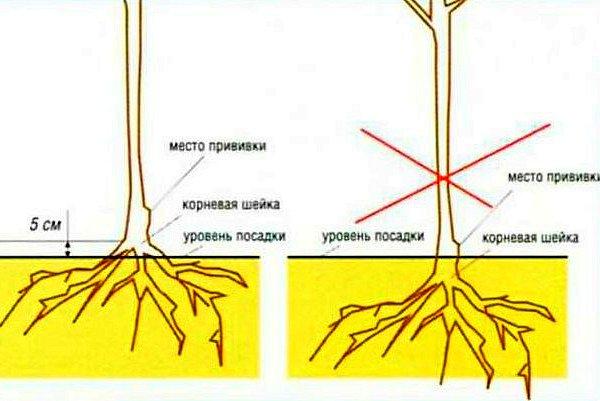 Схема посадки яблоневого саженца