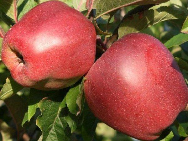 Крупные плоды яблони Глостер