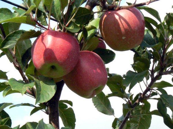 Яблоня европейского сорта Глостер