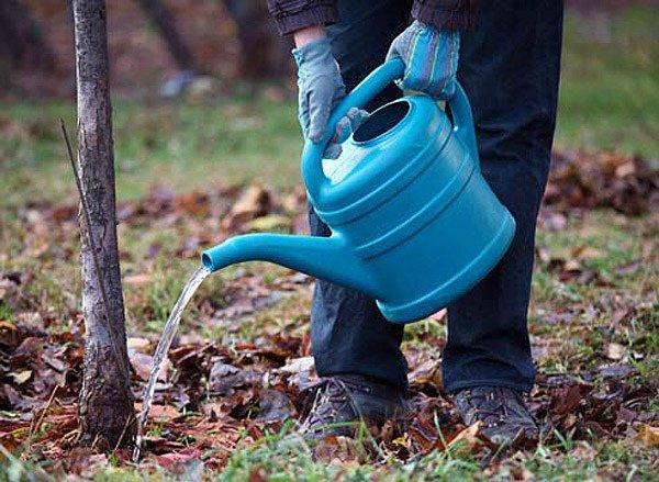 Полив фруктового дерева