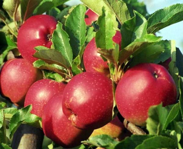 Плоды яблони сорта Коваленковское