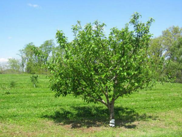 Уход за яблоней сорта Коваленковское в саду
