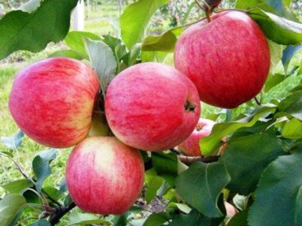 Ветка с яблоками сорта Марат Бусурин
