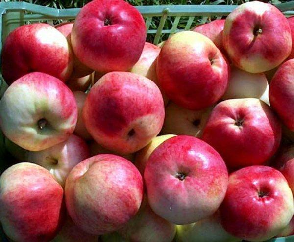 Собранные для хранения яблоки Марат Бусурин