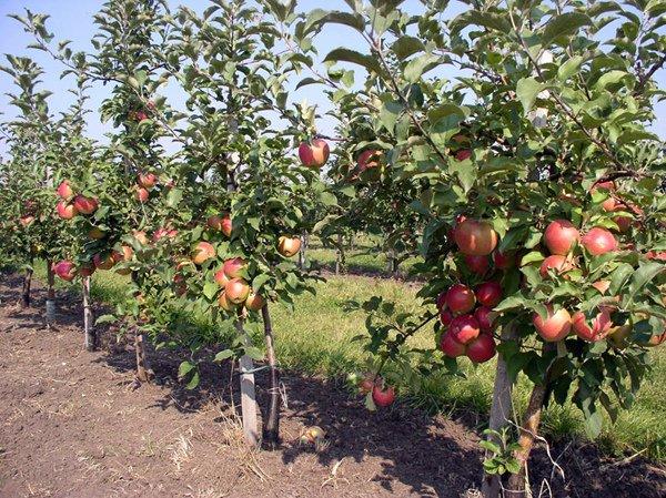 Полукарликовые яблони сорта Марат Бусурин
