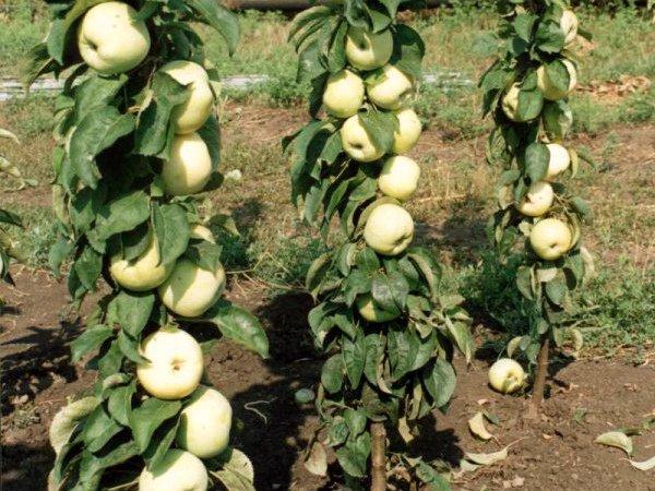 Плодоносящие молодые колоновидные яблони