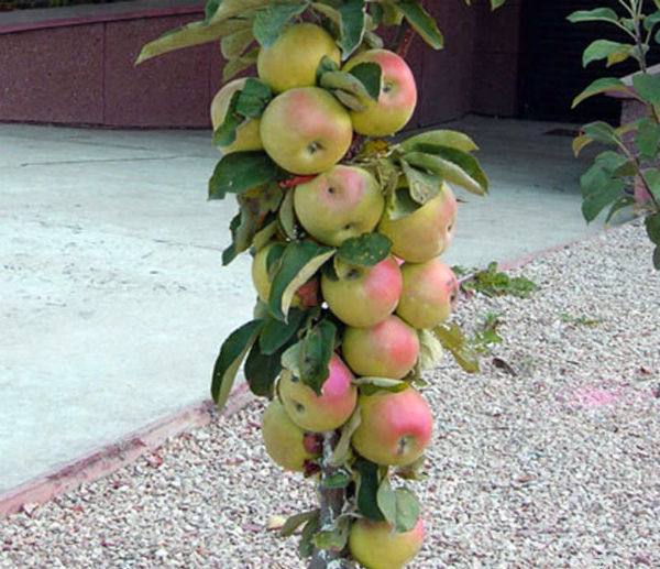 Спелые яблоки сорта Президент на дереве