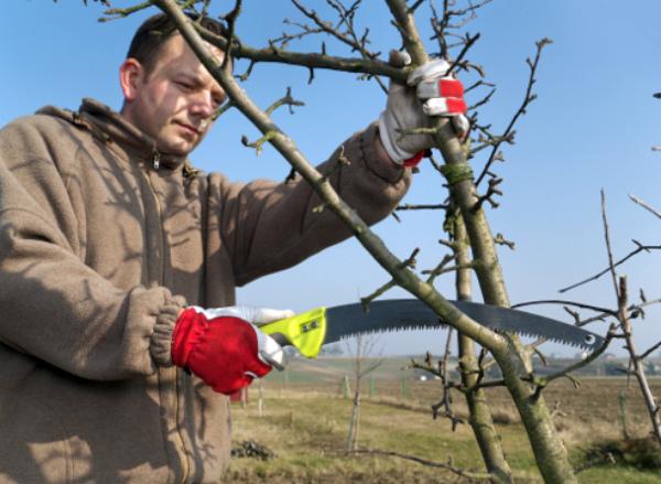 Удаление ненужных веток яблони весной