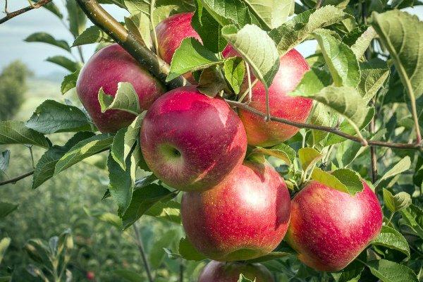 Спелые плоды яблони Серебряное копытце