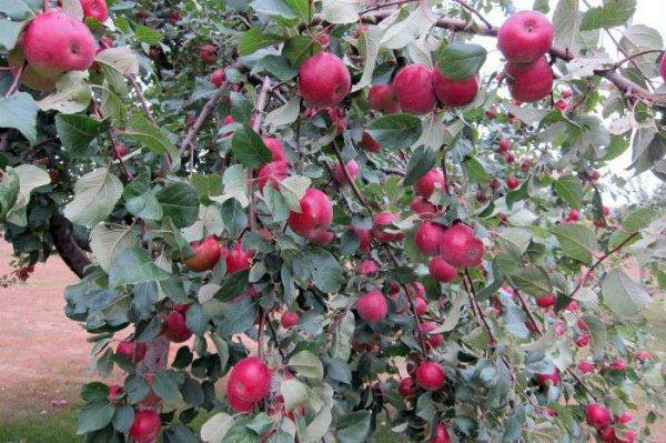 Плодоносящая яблоня сорт Серебряное копытце