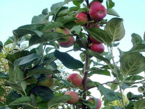 Кисло-сладкие яблоки Серебряное копытце