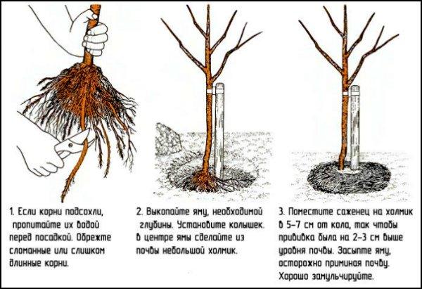 Инструкция по посадке саженца яблони