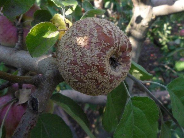 Плодовая гниль испортила урожай яблони