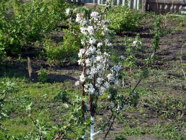 Цветение молодой яблоньки сорта «Валюта»